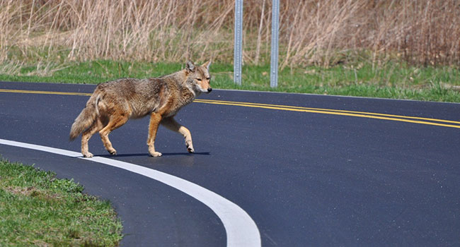 Eating human food could mean trouble for urban coyotes, study shows
